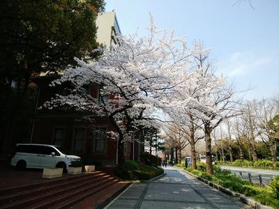 旧英国七番館の桜
