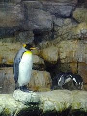 オオサマペンギン